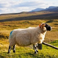 Photo of the Week – Scottish Sheep at the Isle of Skye